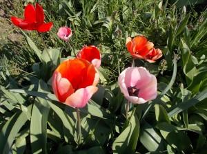 Bird scarer.  Tulips.